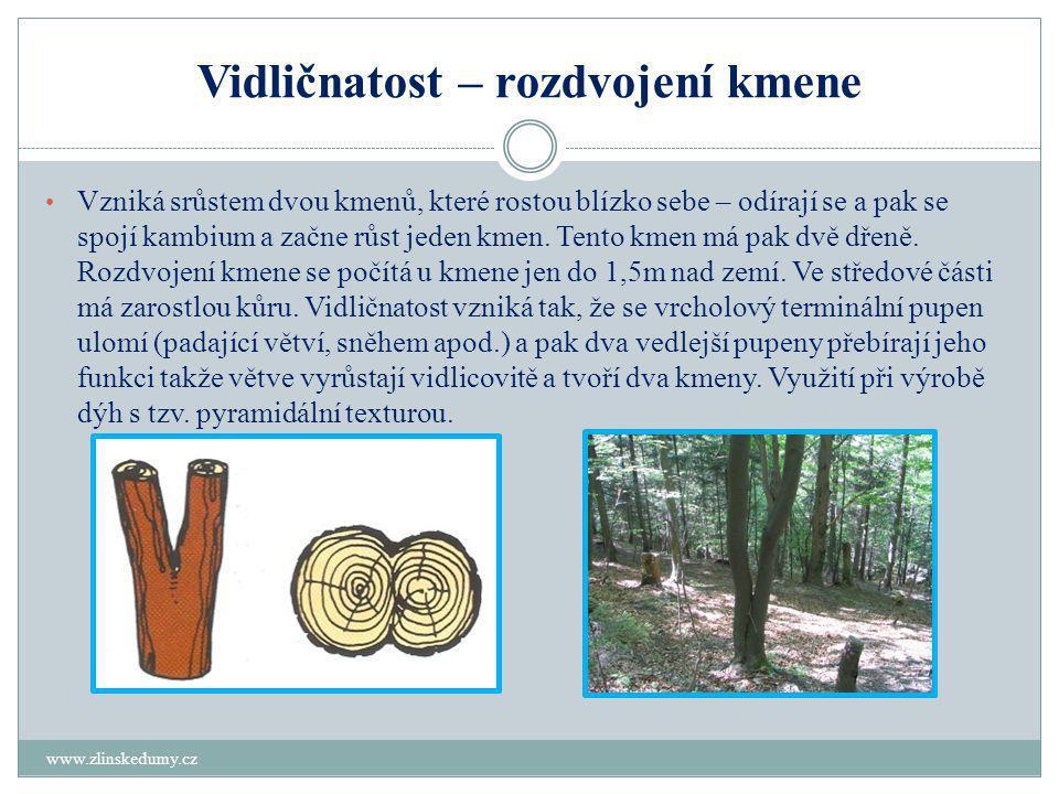 Vidličnatost – rozdvojení kmene www.zlinskedumy.cz • Vzniká srůstem dvou kmenů, které rostou blízko sebe – odírají se a pak se spojí kambium a začne růst jeden kmen.