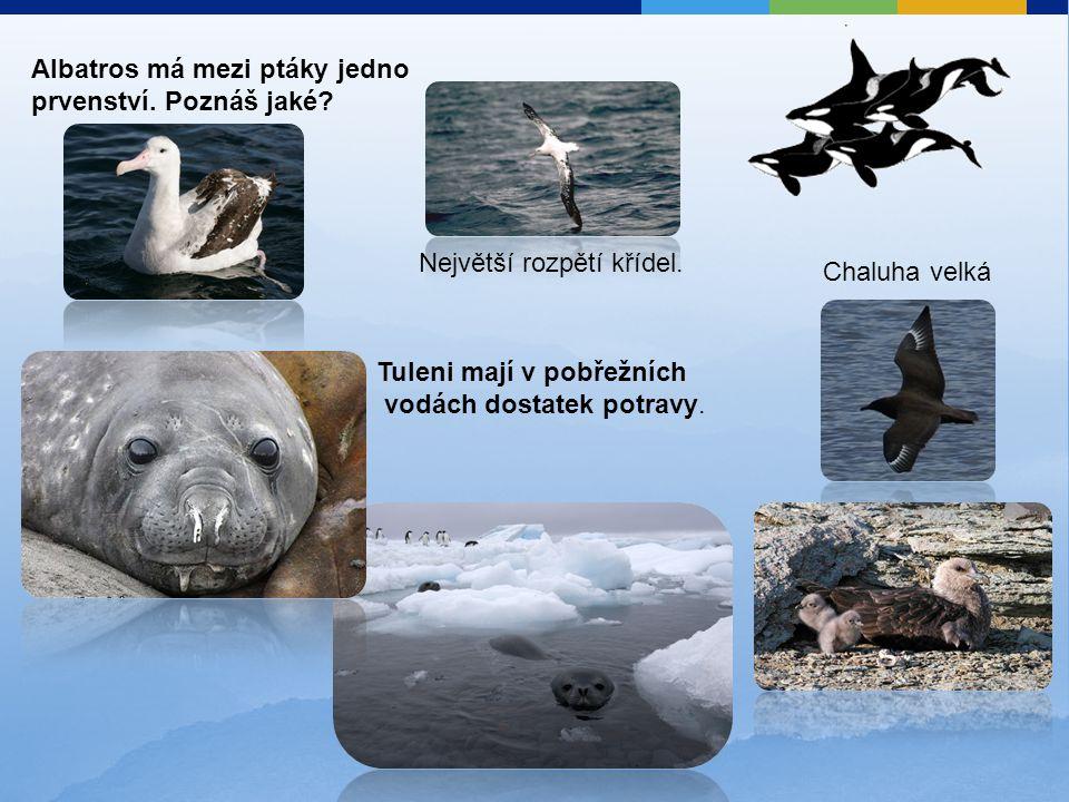 Albatros má mezi ptáky jedno prvenství. Poznáš jaké? Tuleni mají v pobřežních vodách dostatek potravy. Největší rozpětí křídel. Chaluha velká