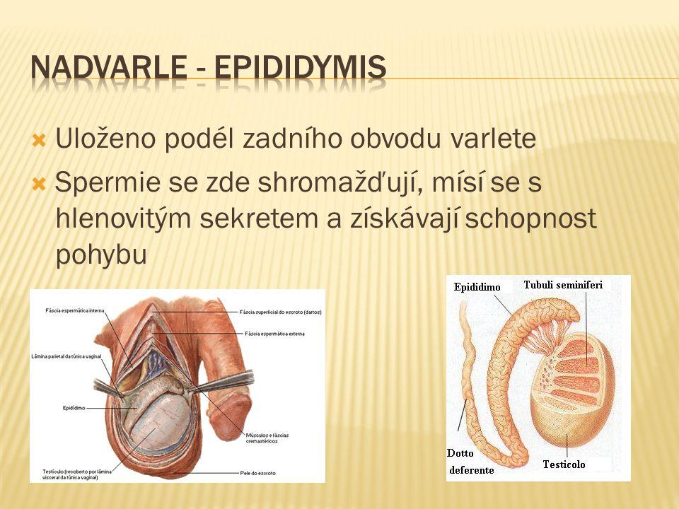  Uloženo podél zadního obvodu varlete  Spermie se zde shromažďují, mísí se s hlenovitým sekretem a získávají schopnost pohybu