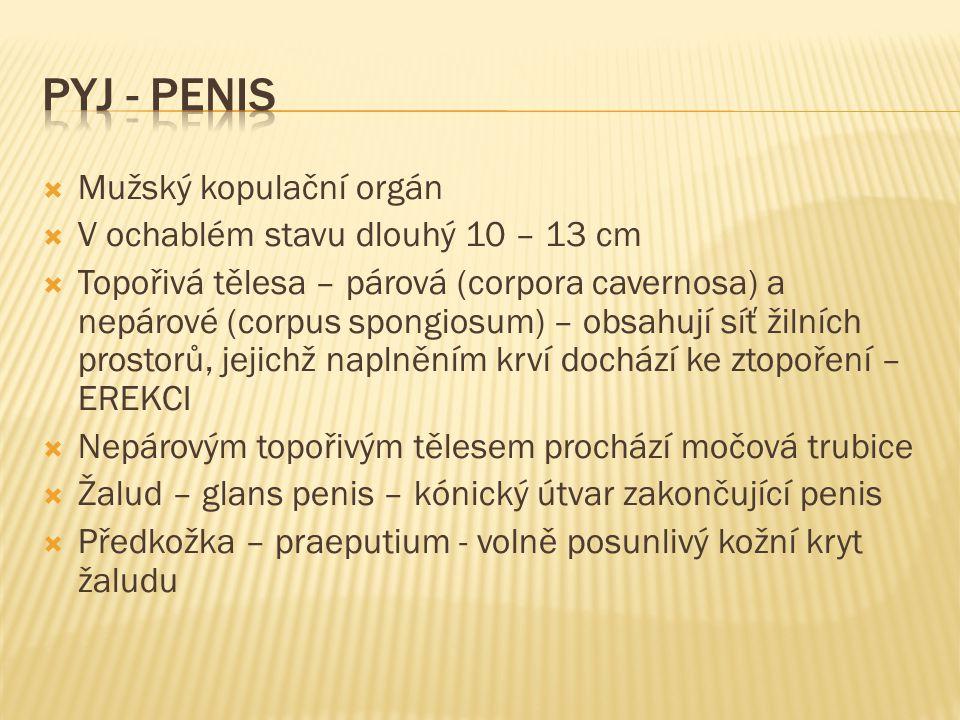  Mužský kopulační orgán  V ochablém stavu dlouhý 10 – 13 cm  Topořivá tělesa – párová (corpora cavernosa) a nepárové (corpus spongiosum) – obsahují