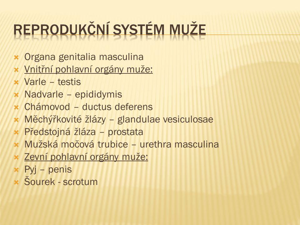  Organa genitalia masculina  Vnitřní pohlavní orgány muže:  Varle – testis  Nadvarle – epididymis  Chámovod – ductus deferens  Měchýřkovité žlázy – glandulae vesiculosae  Předstojná žláza – prostata  Mužská močová trubice – urethra masculina  Zevní pohlavní orgány muže:  Pyj – penis  Šourek - scrotum