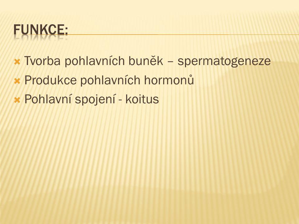  Tvorba pohlavních buněk – spermatogeneze  Produkce pohlavních hormonů  Pohlavní spojení - koitus