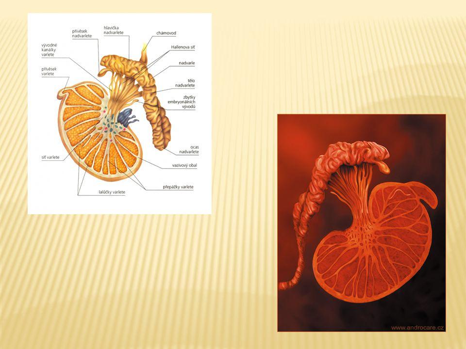  Mužský kopulační orgán  V ochablém stavu dlouhý 10 – 13 cm  Topořivá tělesa – párová (corpora cavernosa) a nepárové (corpus spongiosum) – obsahují síť žilních prostorů, jejichž naplněním krví dochází ke ztopoření – EREKCI  Nepárovým topořivým tělesem prochází močová trubice  Žalud – glans penis – kónický útvar zakončující penis  Předkožka – praeputium - volně posunlivý kožní kryt žaludu