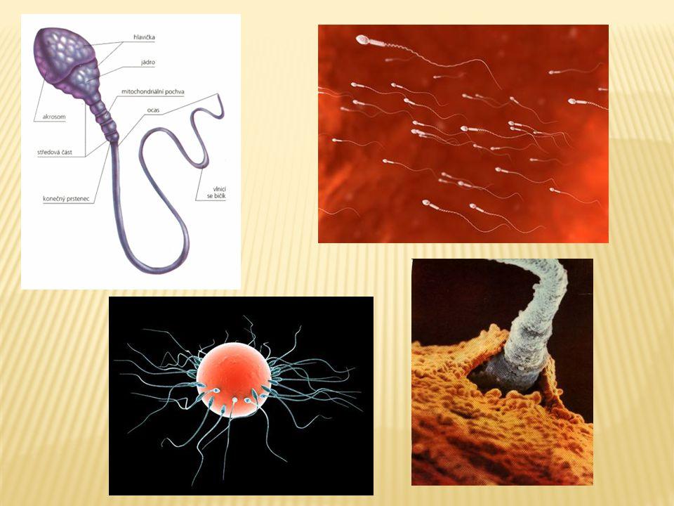  Hlavní představitel androgenů  V krvi volný nebo vázaný na globulin  Účinky testosteronu:  Zajišťuje vývoj mužského typu genitálu u plodu  Růst zevních pohlavních orgánů a vývoj sekundárních pohlavních znaků  Stimuluje metabolismus proteinů  Stimuluje produkci erytropoetinu  Negativní zpětnou vazbou působí na produkci hormonů adenohypofýzy – gonadotropinů (FSH, LH)