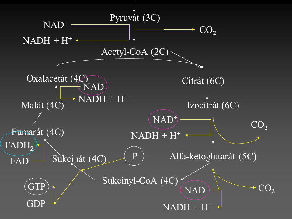 Pyruvát (3C) CO 2 NAD + NADH + H + Acetyl-CoA (2C) Oxalacetát (4C) Citrát (6C) Izocitrát (6C) Alfa-ketoglutarát (5C) Sukcinyl-CoA (4C) Sukcinát (4C) F