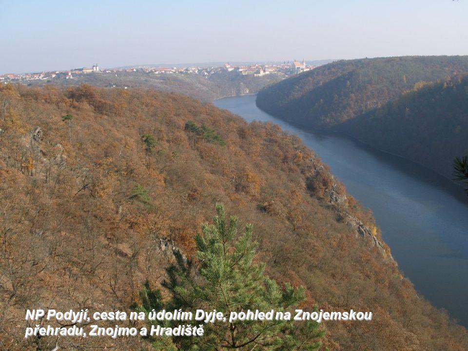 NP Podyjí, starodávné ovoce zvané kdoule nad údolím Dyje