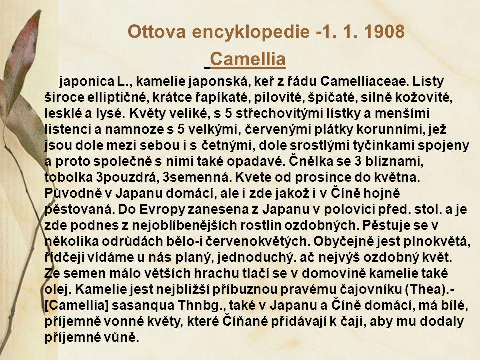 Ottova encyklopedie -1. 1. 1908 Camellia japonica L., kamelie japonská, keř z řádu Camelliaceae. Listy široce elliptičné, krátce řapíkaté, pilovité, š