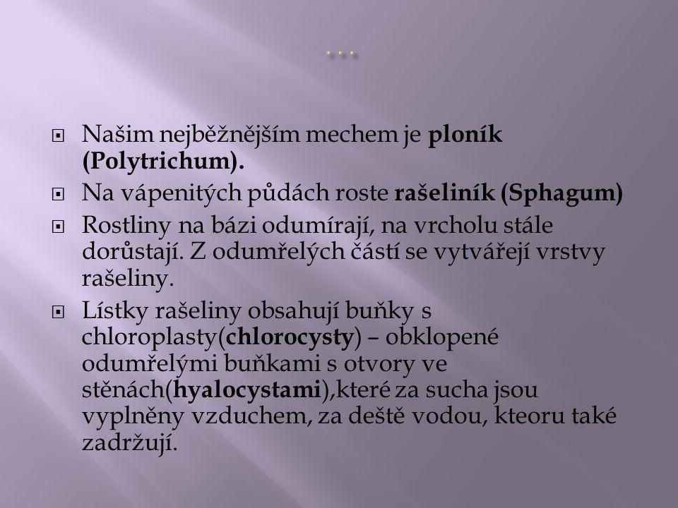  Našim nejběžnějším mechem je ploník (Polytrichum).  Na vápenitých půdách roste rašeliník (Sphagum)  Rostliny na bázi odumírají, na vrcholu stále d