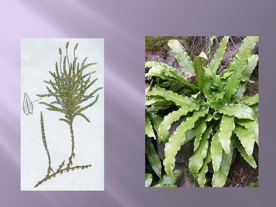  Rostliny s převahou sporofytů nad gametofyty.