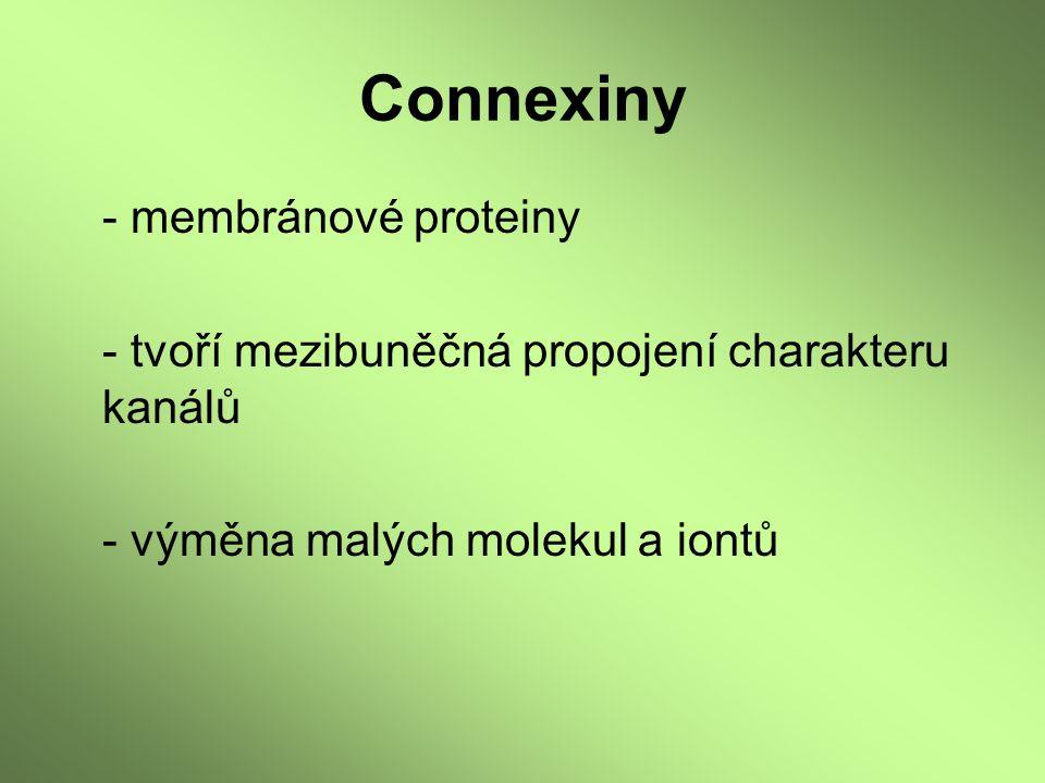 Connexiny - membránové proteiny - tvoří mezibuněčná propojení charakteru kanálů - výměna malých molekul a iontů