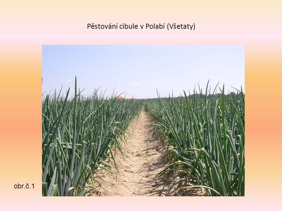 Pěstování cibule v Polabí (Všetaty) obr.č.1