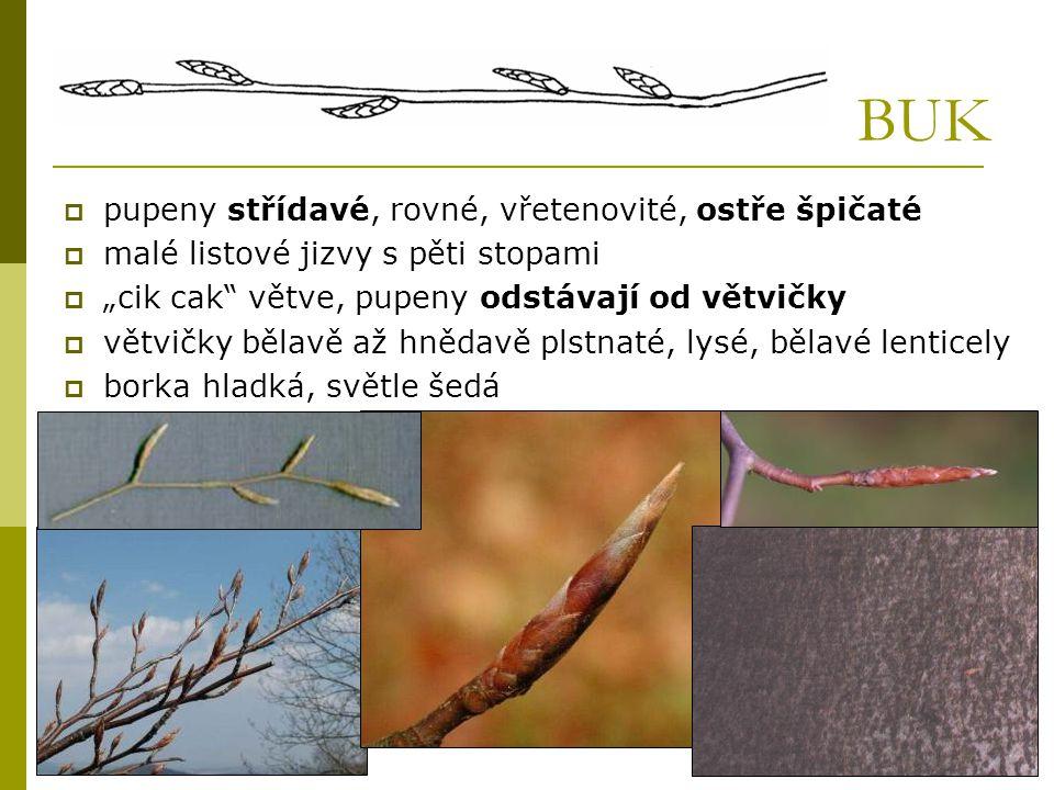 """BUK  pupeny střídavé, rovné, vřetenovité, ostře špičaté  malé listové jizvy s pěti stopami  """"cik cak"""" větve, pupeny odstávají od větvičky  větvičk"""