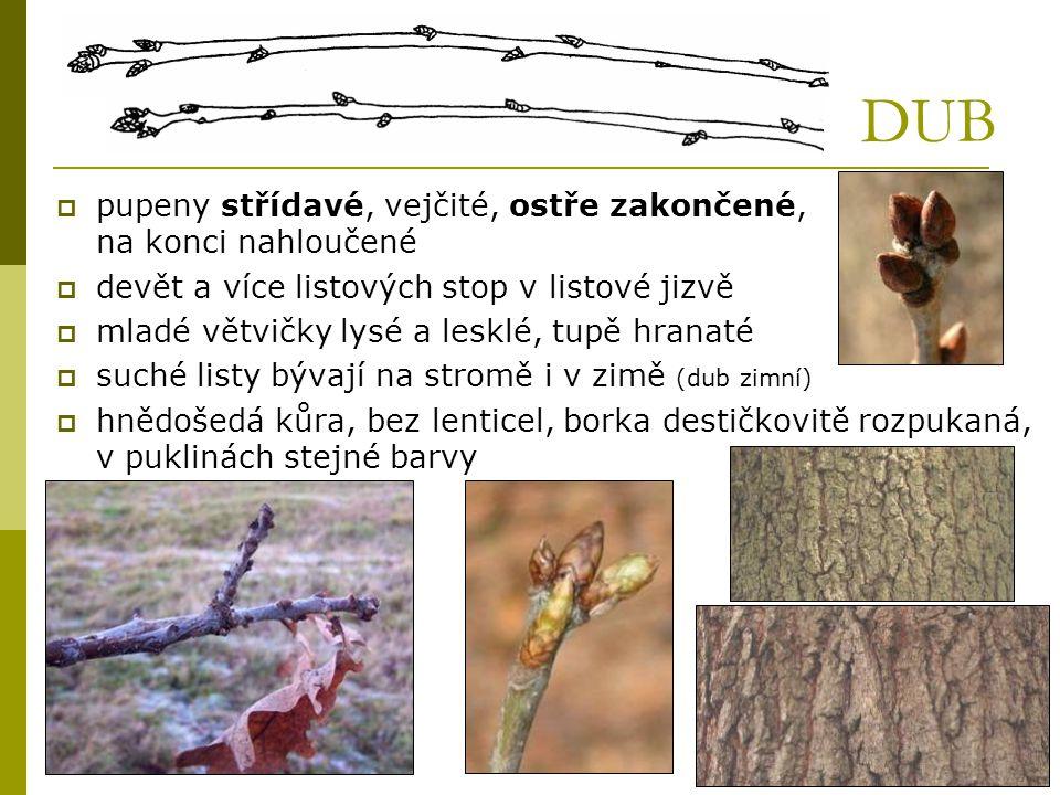 DUB  pupeny střídavé, vejčité, ostře zakončené, na konci nahloučené  devět a více listových stop v listové jizvě  mladé větvičky lysé a lesklé, tup