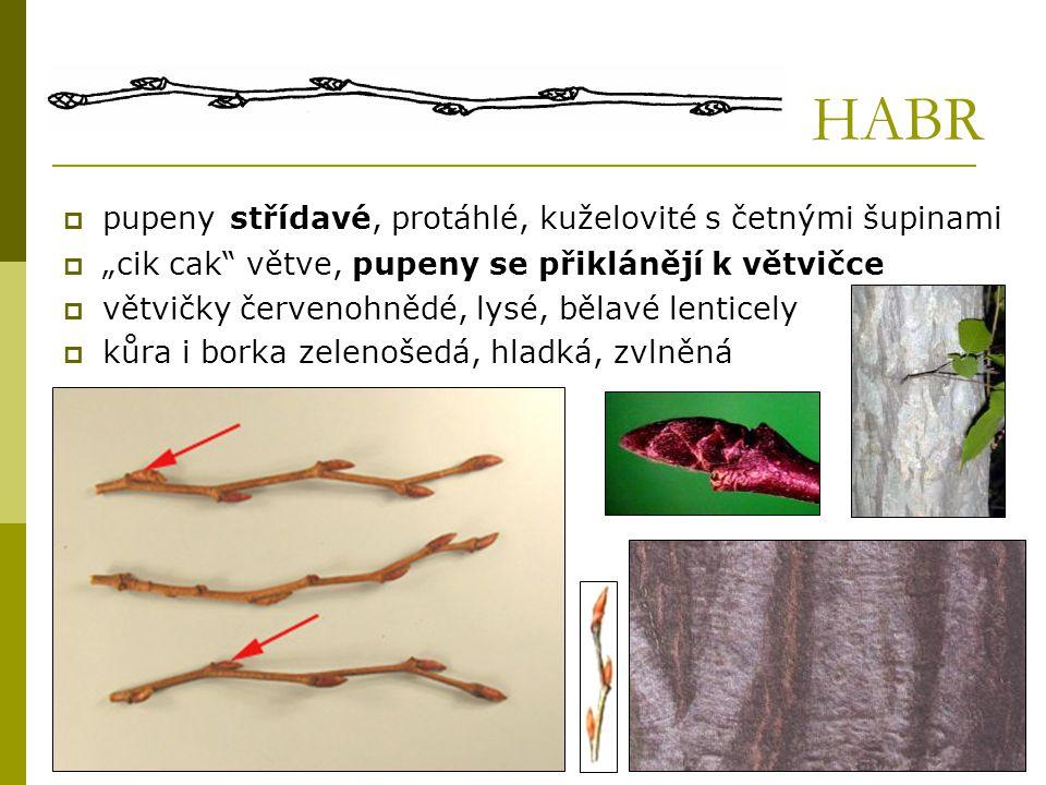 """HABR  pupeny střídavé, protáhlé, kuželovité s četnými šupinami  """"cik cak"""" větve, pupeny se přiklánějí k větvičce  větvičky červenohnědé, lysé, běla"""