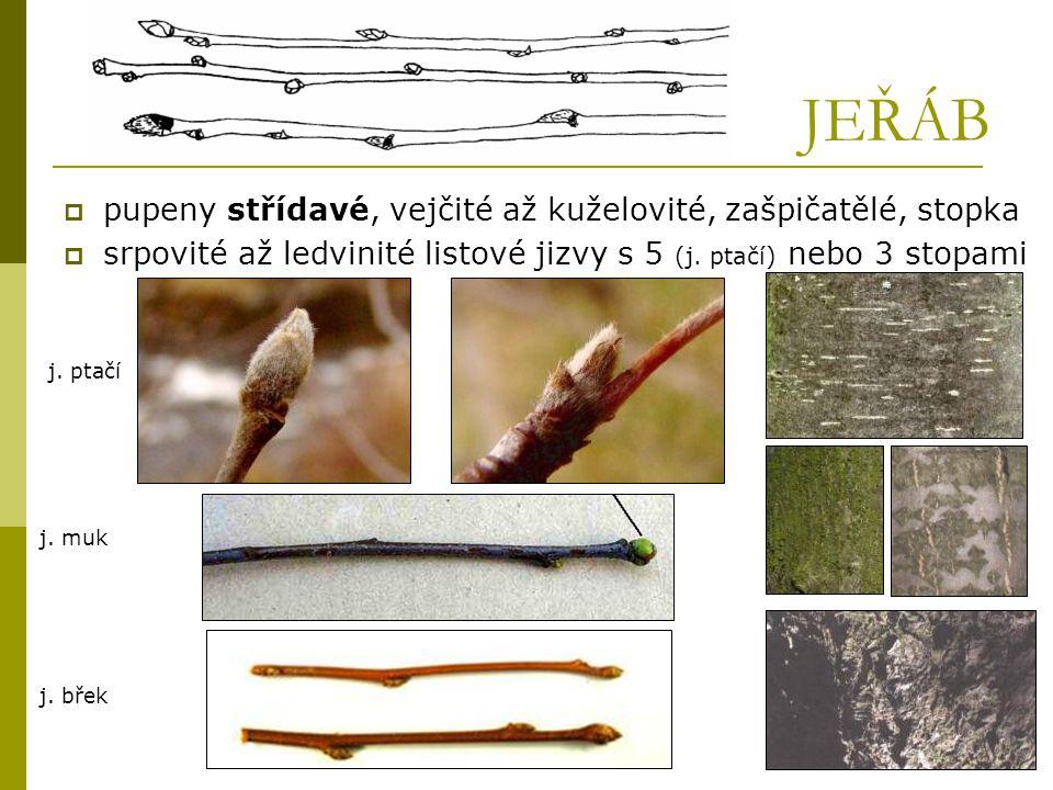 JEŘÁB  pupeny střídavé, vejčité až kuželovité, zašpičatělé, stopka  srpovité až ledvinité listové jizvy s 5 (j. ptačí) nebo 3 stopami j. muk j. ptač