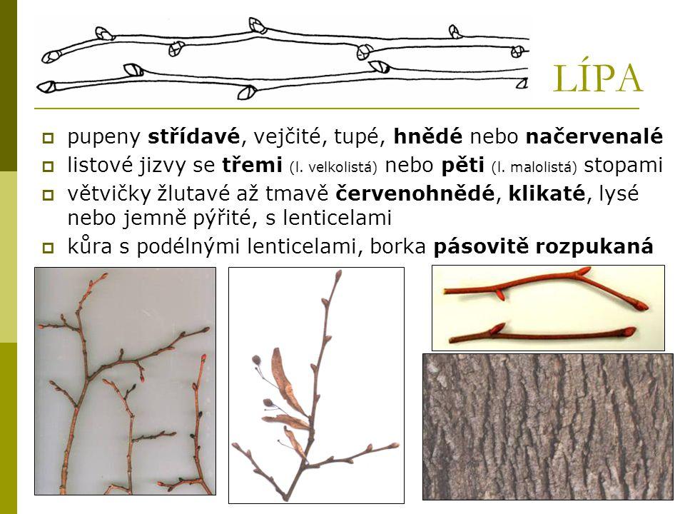 LÍPA  pupeny střídavé, vejčité, tupé, hnědé nebo načervenalé  listové jizvy se třemi (l. velkolistá) nebo pěti (l. malolistá) stopami  větvičky žlu