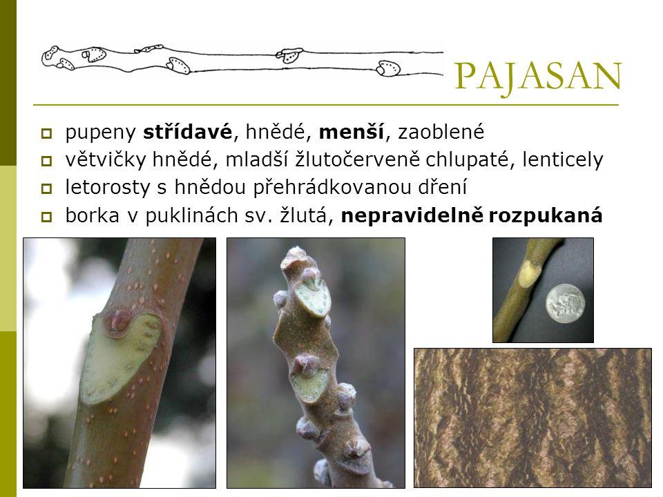 PAJASAN  pupeny střídavé, hnědé, menší, zaoblené  větvičky hnědé, mladší žlutočerveně chlupaté, lenticely  letorosty s hnědou přehrádkovanou dření