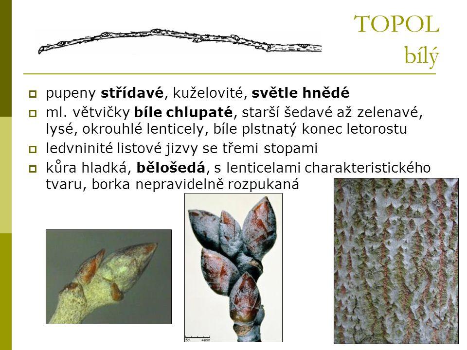 TOPOL bílý  pupeny střídavé, kuželovité, světle hnědé  ml. větvičky bíle chlupaté, starší šedavé až zelenavé, lysé, okrouhlé lenticely, bíle plstnat