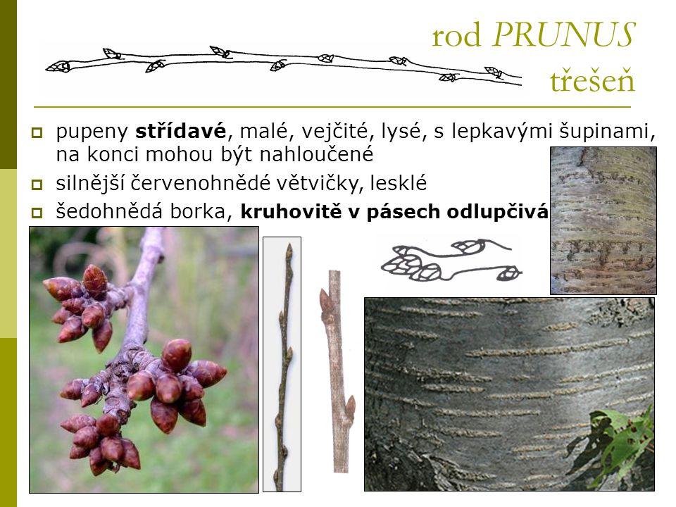 rod PRUNUS třešeň  pupeny střídavé, malé, vejčité, lysé, s lepkavými šupinami, na konci mohou být nahloučené  silnější červenohnědé větvičky, lesklé
