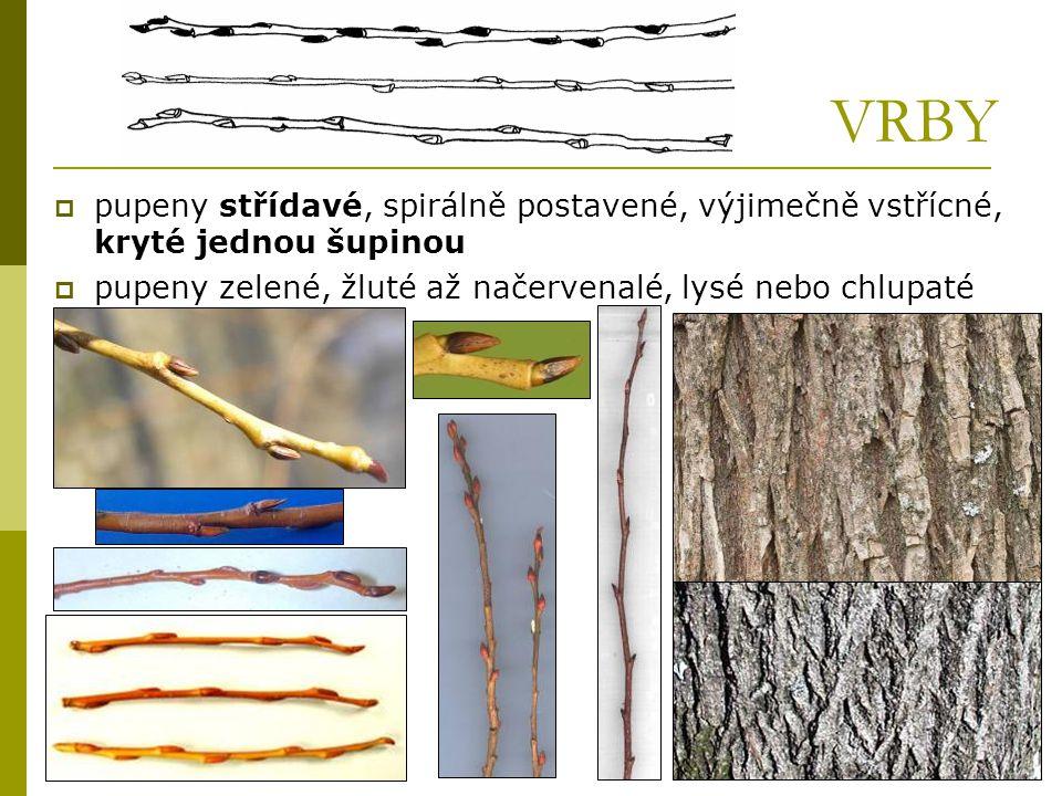 VRBY  pupeny střídavé, spirálně postavené, výjimečně vstřícné, kryté jednou šupinou  pupeny zelené, žluté až načervenalé, lysé nebo chlupaté