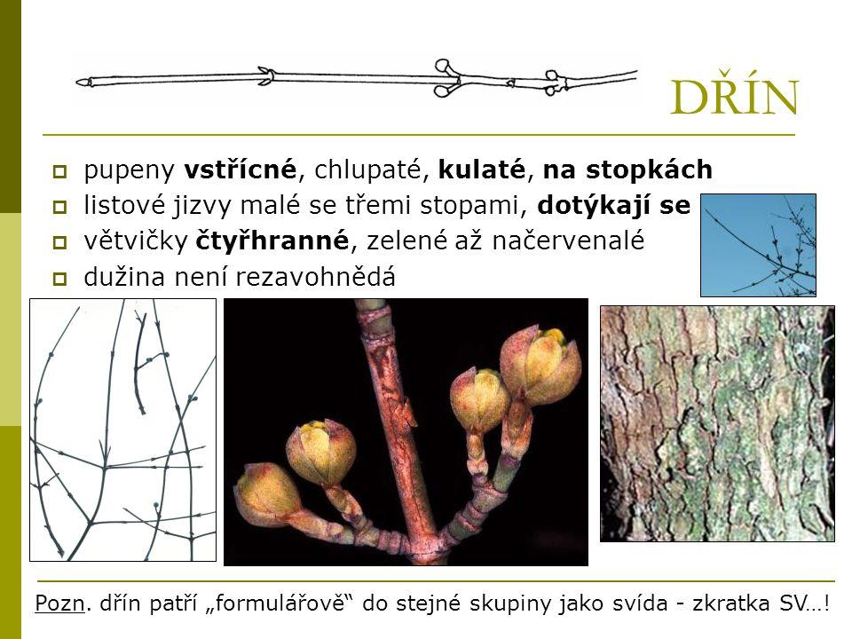 DŘÍN  pupeny vstřícné, chlupaté, kulaté, na stopkách  listové jizvy malé se třemi stopami, dotýkají se  větvičky čtyřhranné, zelené až načervenalé
