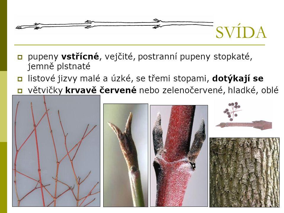 SVÍDA  pupeny vstřícné, vejčité, postranní pupeny stopkaté, jemně plstnaté  listové jizvy malé a úzké, se třemi stopami, dotýkají se  větvičky krva