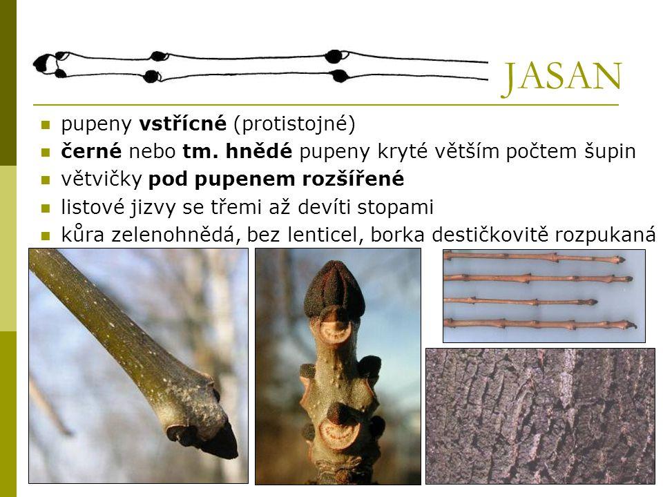 JAVOR  pupeny vstřícné (protistojné)  úzké listové jizvy se třemi stopami  pupeny: zelené (javor klen), červené (javor mléč, javor jasanolistý) hnědé (javor babyka) - mívá korkové lišty na větévkách j.