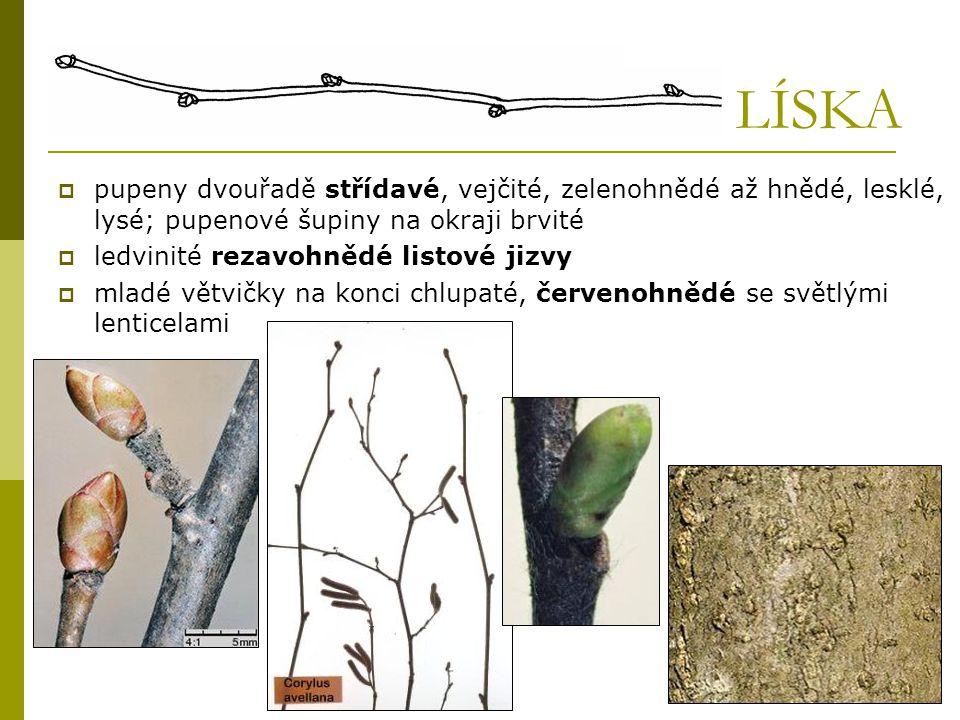 LÍSKA  pupeny dvouřadě střídavé, vejčité, zelenohnědé až hnědé, lesklé, lysé; pupenové šupiny na okraji brvité  ledvinité rezavohnědé listové jizvy