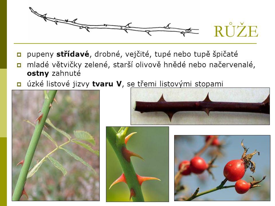 RŮŽE  pupeny střídavé, drobné, vejčité, tupé nebo tupě špičaté  mladé větvičky zelené, starší olivově hnědé nebo načervenalé, ostny zahnuté  úzké l