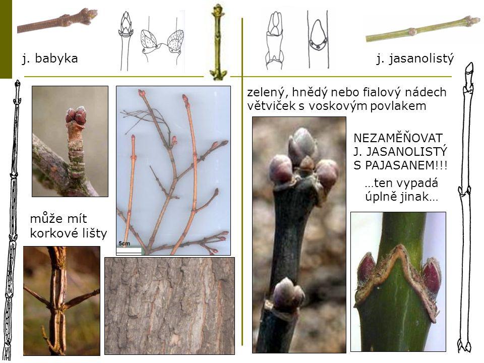 JILM  pupeny střídavé, šupinaté, pupeny šikmo nad jizvou  pupeny jsou malé a tupé až špičaté, nejsou lepkavé  listové jizvy ledvinitého až srdčitého tvaru se třemi stopami  lysé nebo žláznaté letorosty, ne chlupaté  větvičky často s korkovými lištami