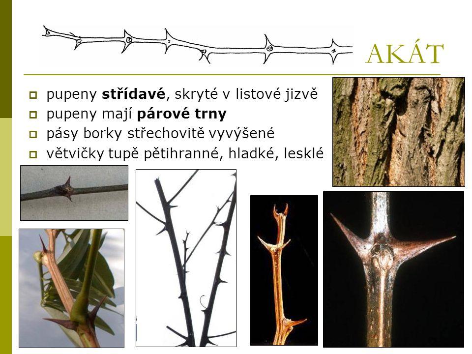 AKÁT  pupeny střídavé, skryté v listové jizvě  pupeny mají párové trny  pásy borky střechovitě vyvýšené  větvičky tupě pětihranné, hladké, lesklé