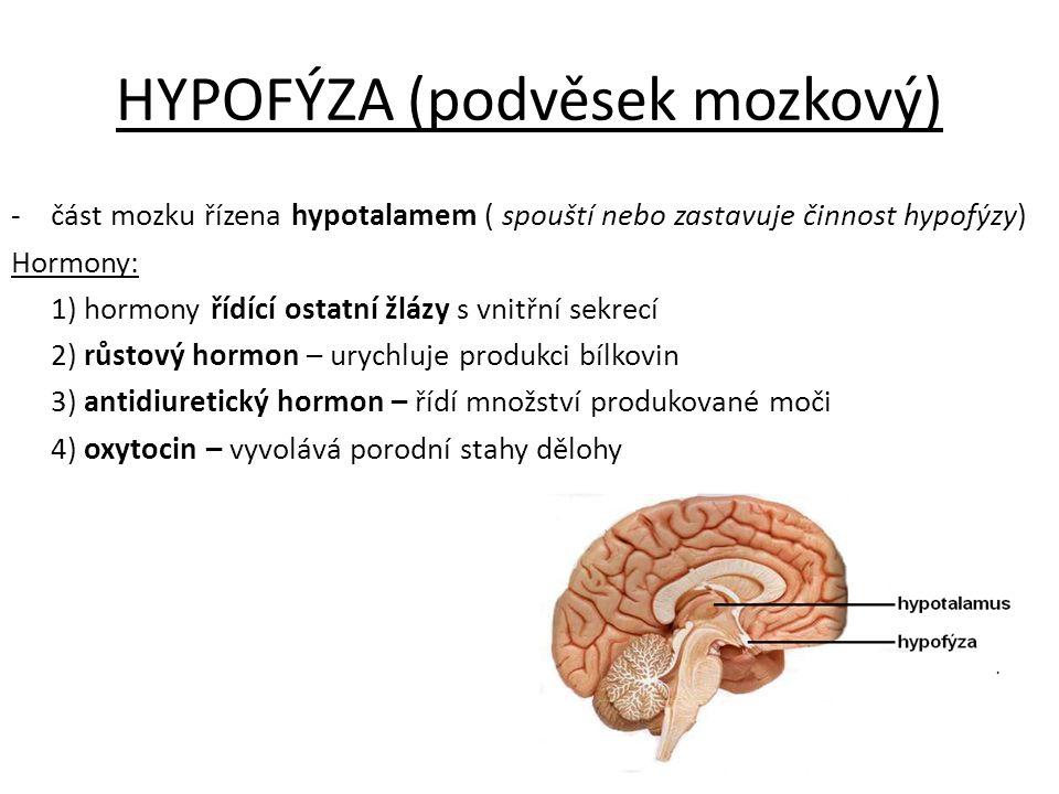 HYPOFÝZA (podvěsek mozkový) -část mozku řízena hypotalamem ( spouští nebo zastavuje činnost hypofýzy) Hormony: 1) hormony řídící ostatní žlázy s vnitř