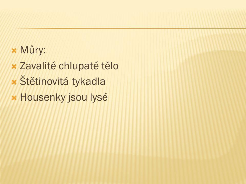  Můry:  Zavalité chlupaté tělo  Štětinovitá tykadla  Housenky jsou lysé