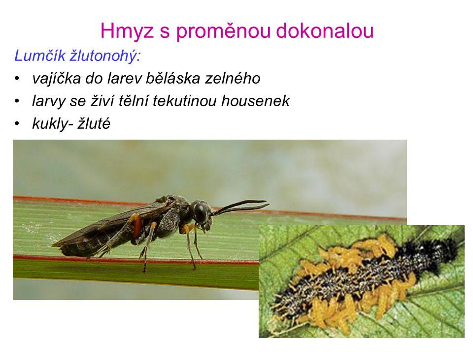 Hmyz s proměnou dokonalou Lumčík žlutonohý: •vajíčka do larev běláska zelného •larvy se živí tělní tekutinou housenek •kukly- žluté