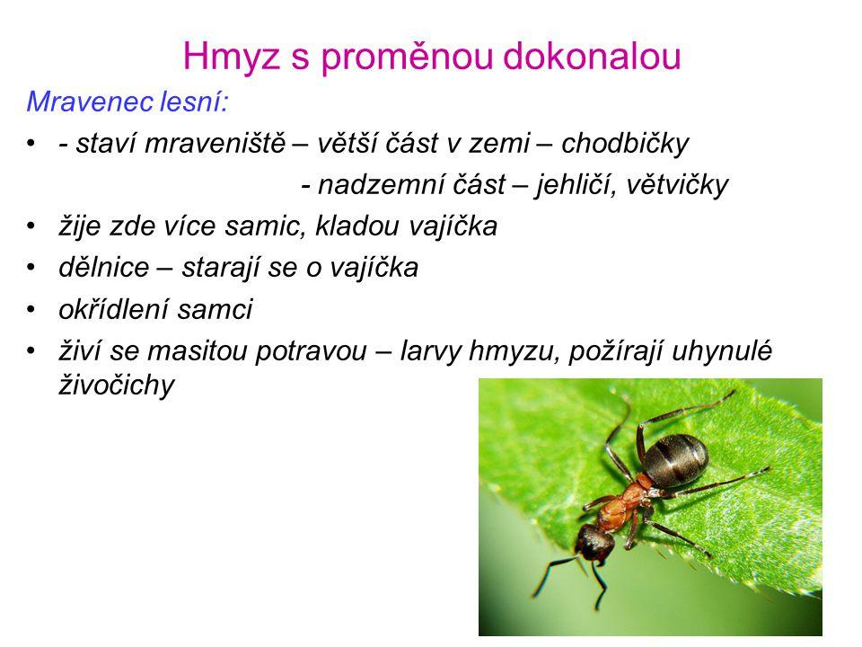 Hmyz s proměnou dokonalou Mravenec lesní: •- staví mraveniště – větší část v zemi – chodbičky - nadzemní část – jehličí, větvičky •žije zde více samic
