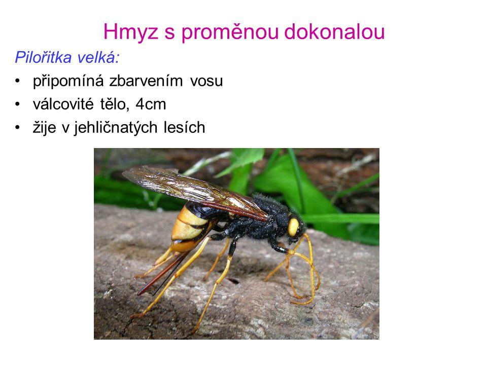 Hmyz s proměnou dokonalou Pilořitka velká: •připomíná zbarvením vosu •válcovité tělo, 4cm •žije v jehličnatých lesích