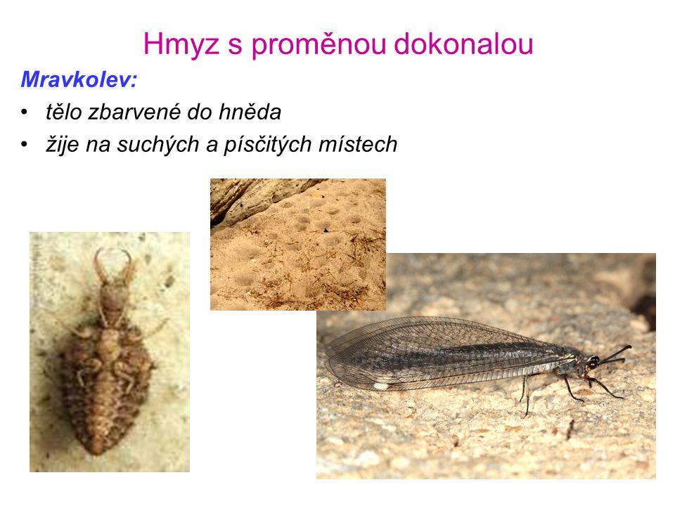 Hmyz s proměnou dokonalou Mravkolev: •tělo zbarvené do hněda •žije na suchých a písčitých místech