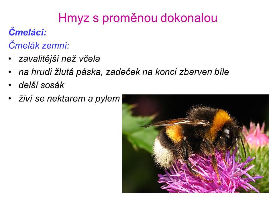 Hmyz s proměnou dokonalou Čmeláci: Čmelák zemní: •zavalitější než včela •na hrudi žlutá páska, zadeček na konci zbarven bíle •delší sosák •živí se nek