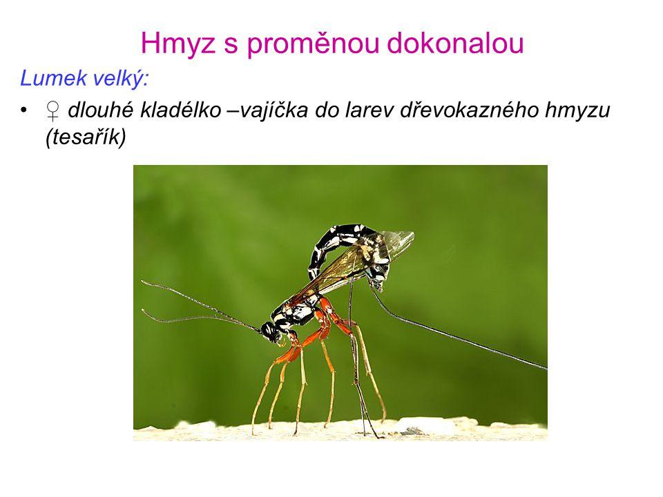 Hmyz s proměnou dokonalou Lumek velký: •♀ dlouhé kladélko –vajíčka do larev dřevokazného hmyzu (tesařík)