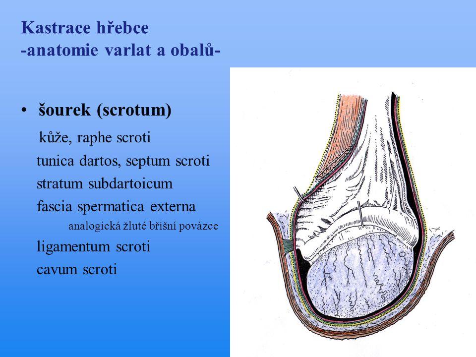 Kastrace hřebce -anatomie varlat a obalů- •šourek (scrotum) kůže, raphe scroti tunica dartos, septum scroti stratum subdartoicum fascia spermatica ext