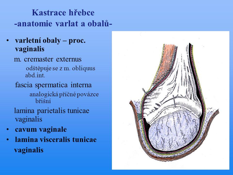 Kastrace hřebce -anatomie varlat a obalů- •varle a nadvarle •chámovod •semenný provazec •tříselný kanál •gubernakulum lig.