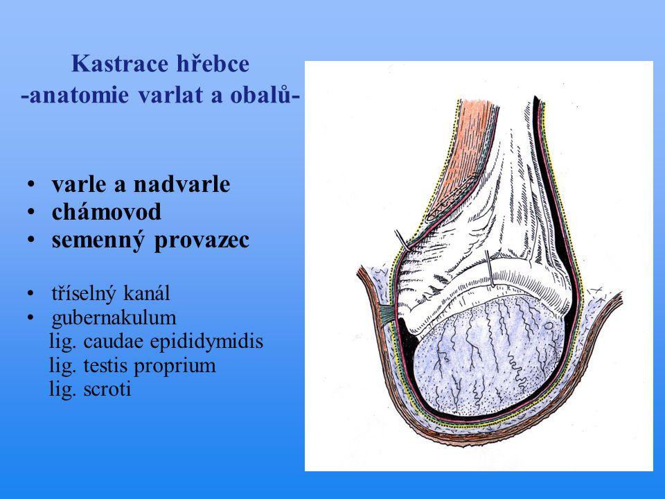 Kastrace hřebce -anatomie varlat a obalů- •varle a nadvarle •chámovod •semenný provazec •tříselný kanál •gubernakulum lig. caudae epididymidis lig. te
