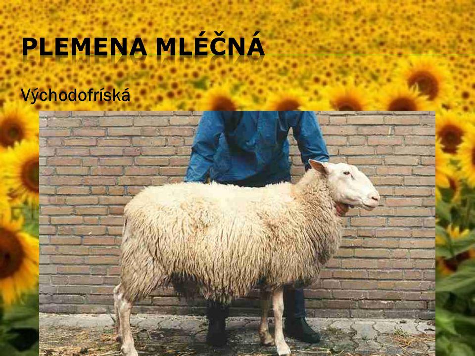  Pro ukázku uvedeme i fotografii ovcí plemene merino s převážně vlnařskou užitkovostí.Chovají se v současnosti v zemích s příznivějším klimatem než v ČR kvůli zachování co nejlepší kvality vlny.
