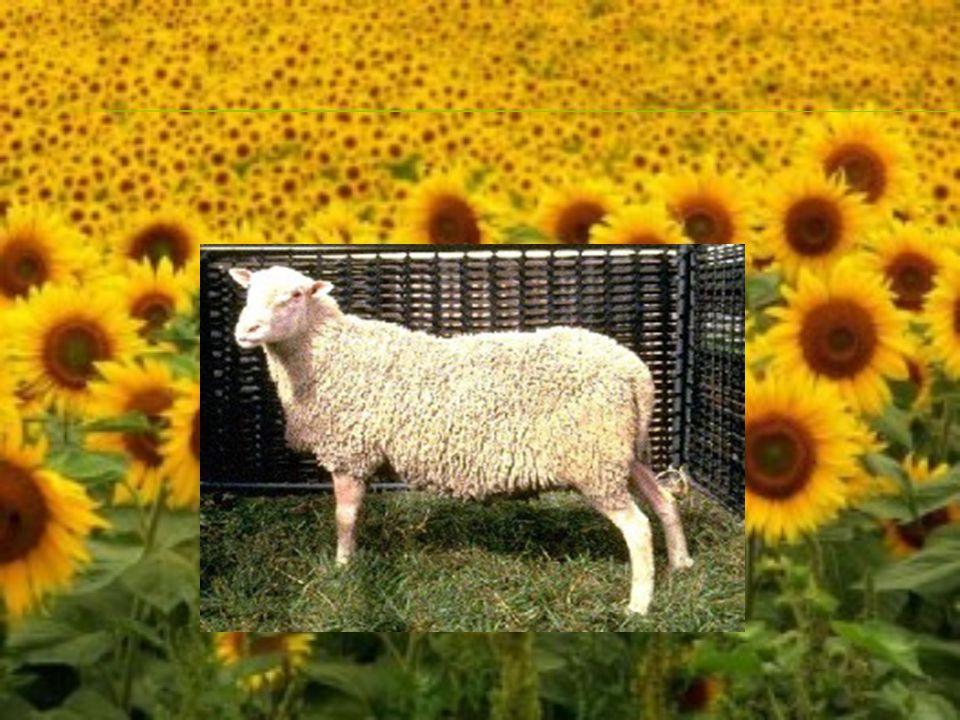  – země původu je Německo,tělesný rámec velký,vlna bílá,hlava dlouhá a mírně klabonosá,porostlá i s končetinami a ocasem pouze krycí srstí.Ž.h.berana je 110-120 kg,ovce 80-90 kg.Sortiment vlny BC-D.Produkce mléka za rok okolo 600 kg,rekordy i přes 1000 kg.Plodnost činí 230%.Není to stádové plemeno,proto se musí pást oplůtkovým systémem.