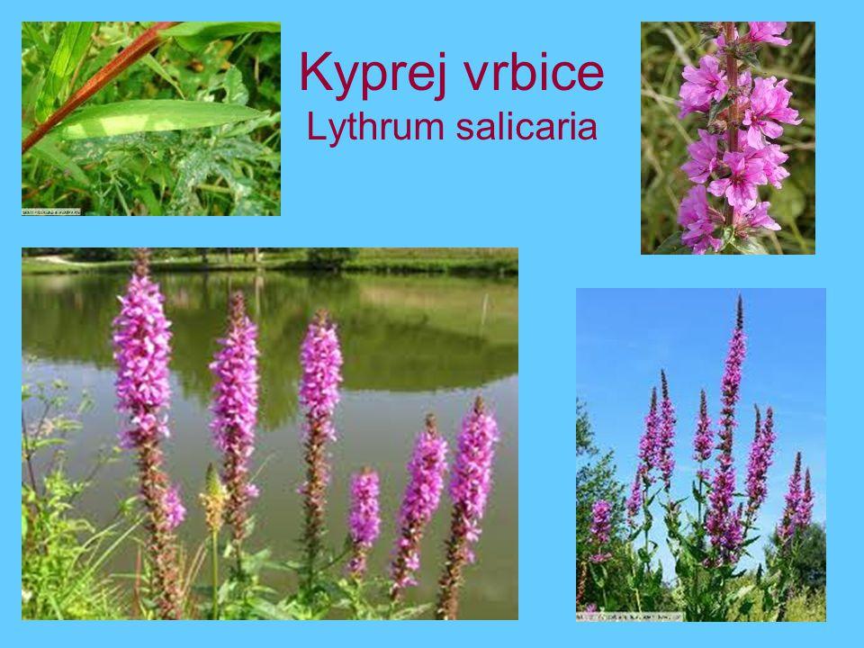Kyprej vrbice Lythrum salicaria