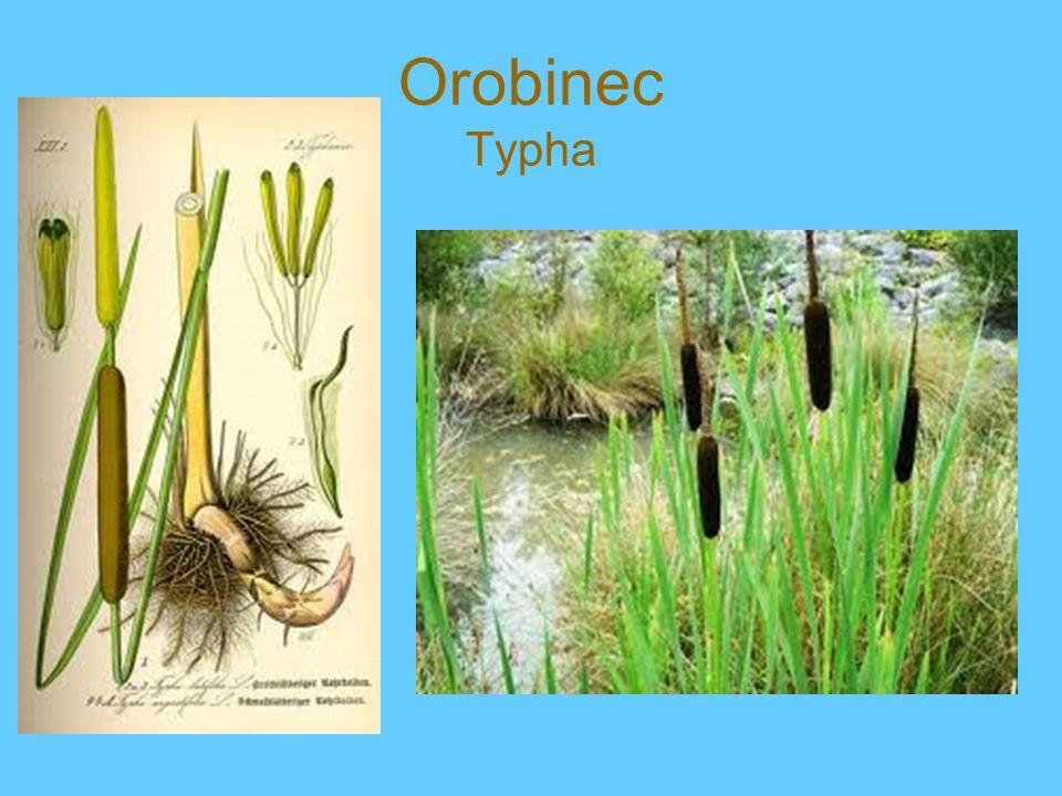 Orobinec Typha
