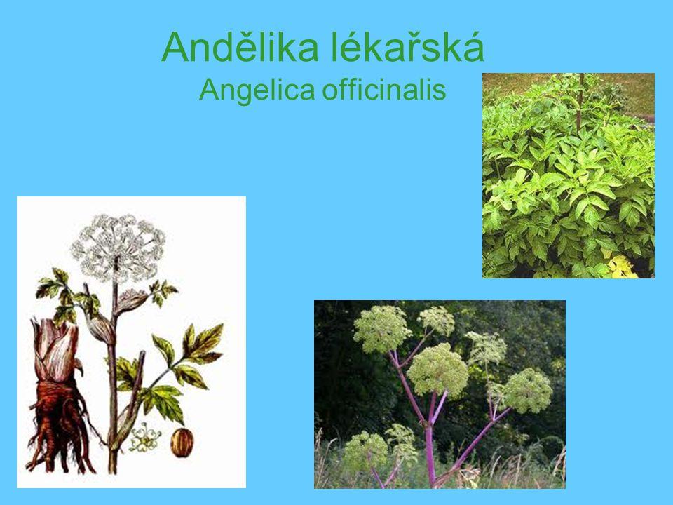 Andělika lékařská Angelica officinalis