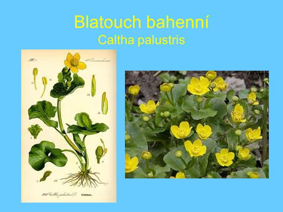 Blatouch bahenní Caltha palustris