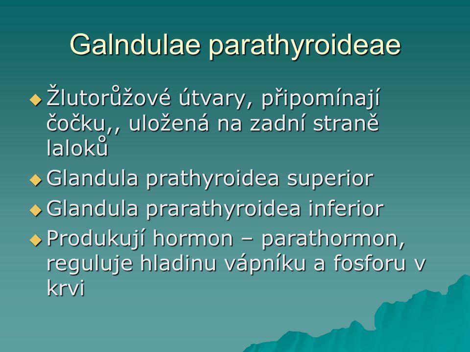 Galndulae parathyroideae  Žlutorůžové útvary, připomínají čočku,, uložená na zadní straně laloků  Glandula prathyroidea superior  Glandula prarathyroidea inferior  Produkují hormon – parathormon, reguluje hladinu vápníku a fosforu v krvi