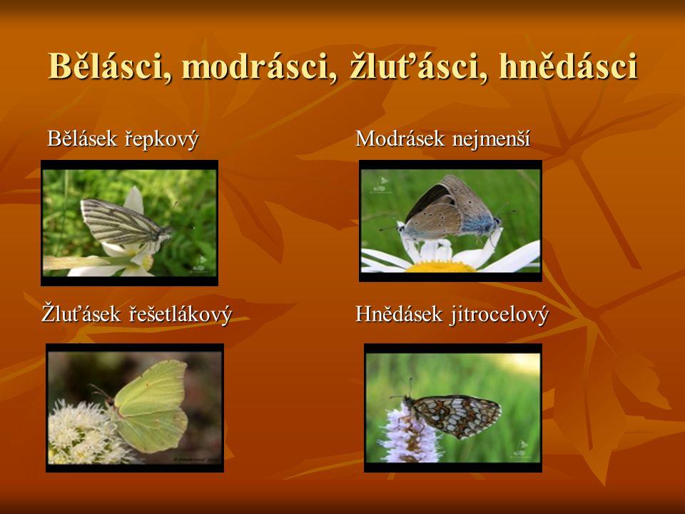 Další zástupci motýlů Ohniváček celíkový Perleťovec dvanáctitečný Přástevník medvědí Okáč červenohnědý